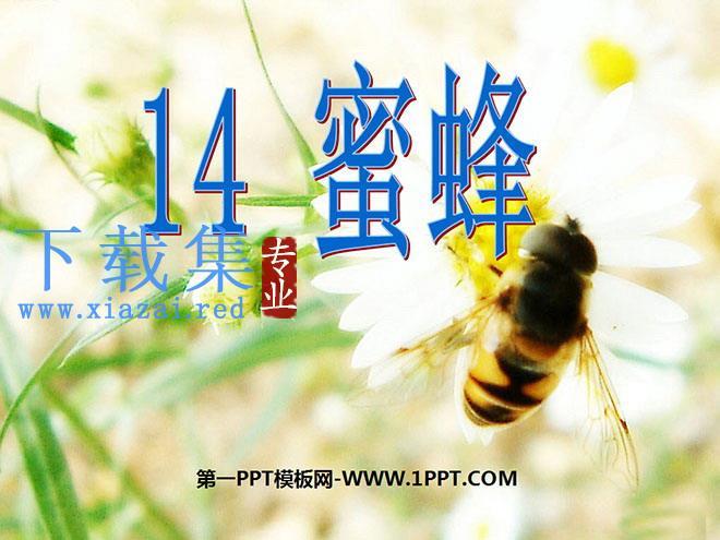 《蜜蜂》PPT教学课件下载3  第1张